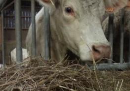 Vache et fourrage