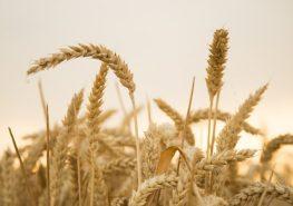 blé - traçabilité à la parcelle